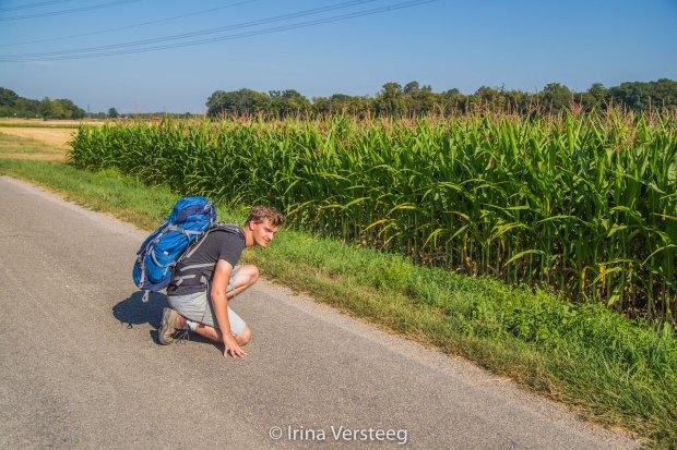 Deer corn field